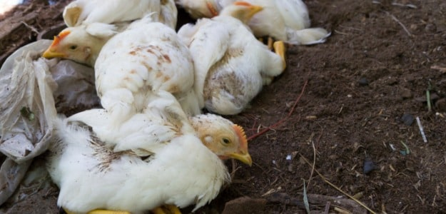 Bird Flu Outbreak: How Safe is Poultry Consumption?