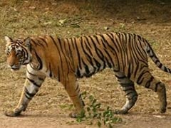 48 Tigers in Non-Protected Chandrapur Forest Areas: Survey