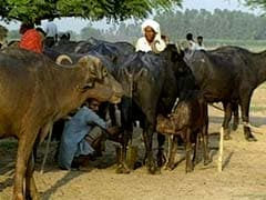 Truth vs Hype: Anti-Beef Laws in Maharashtra, Haryana Based More on Hyperbole Than Facts