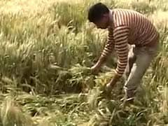 Farmers in Punjab Will Have A Dull Baisakhi This Year