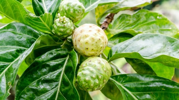 The Big Benefits of the Little Noni Fruit