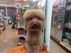 Taiwanese Dogs Are Getting Square Haircuts, and They Don't Seem happy