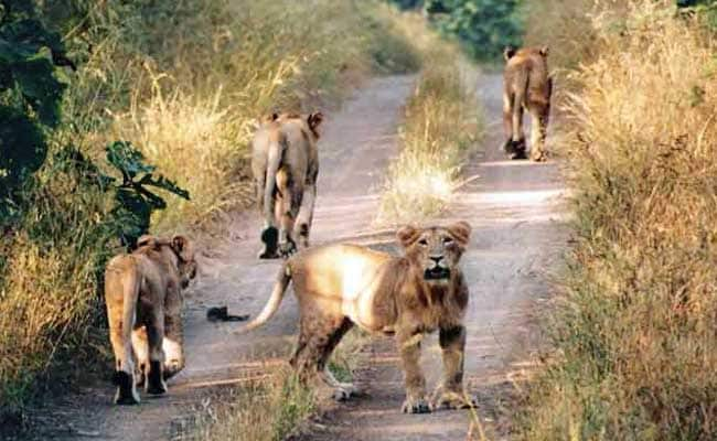 More Asiatic Lion Cubs Sighted in Gir Sanctuary in Gujarat