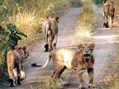 Rescued Lions Explore New Home In Sanctuary: South Africa