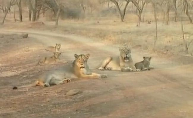 With Rising Numbers, Lions Overflowing Gir? Latest Census Hopes to Find Out
