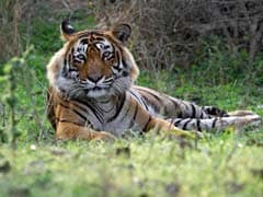 A Tiger Named Ustad Divides India. This is His Story.