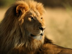 Asiatic Lion Rescued From 100 Feet Dry Well In Gujarat