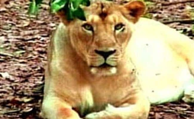 Lioness Strays Into Shiva Temple, Attacks 2; Rescued