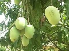 Why Former Jharkhand Chief Minister is Numbering All the Mangoes in His Backyard