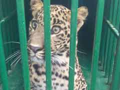 Leopard Shot Dead After It Injures 2 Forest Officials Near Dehradun