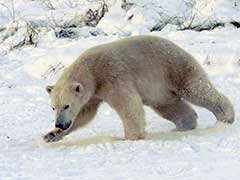 Russian Scientists Are 'Besieged' By Polar Bears At A Remote Arctic Post