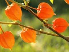 Ashwagandha: It's Powerful Health and Beauty Benefits You Didn't Know About