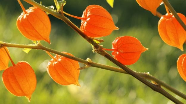 Ashwagandha: The Powerful Health Benefits and Beauty Benefits You Need to Know