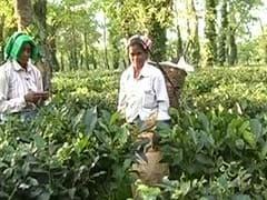 Assam's Tea Garden Workers Demand Tribal Status