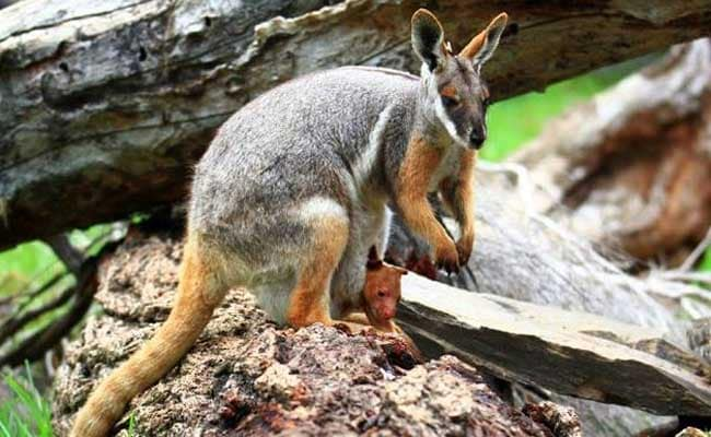 Kolkata Zoo Says No To Kangaroos