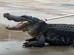 Houston, we Have a Problem. Giant Alligator Captured Outside Mall