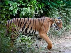 Tiger Conservation Authority Awaiting Government Nod For Drone Monitoring