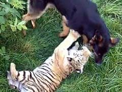 Two Tigers and Three Dogs Are the World's Most Unlikely Best Friends