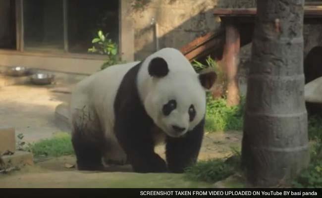 Famous Chinese Panda to Celebrate 35th Birthday