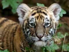 Tiger Cub Found Dead In Maharashtra's Tadoba Reserve