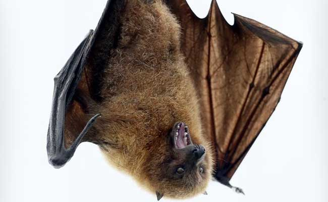 West Africa At Highest Risk Of Bat-To-Human Virus Spread: Study