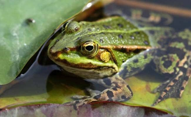 Many Species Of Frogs In Munnar Faces Extinction