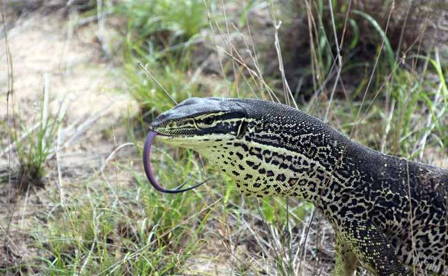 Australian Giant Monitor Lizards Trained To Avoid Eating Toxic Toads