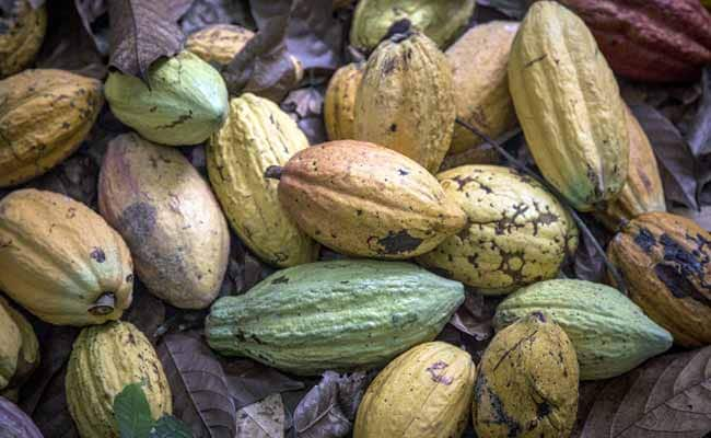 Ebola-Free Sierra Leone Bets On Cocoa To Spark Recovery