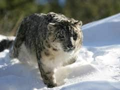 Darjeeling Gets Snow Leopard From UK, Another From France Soon