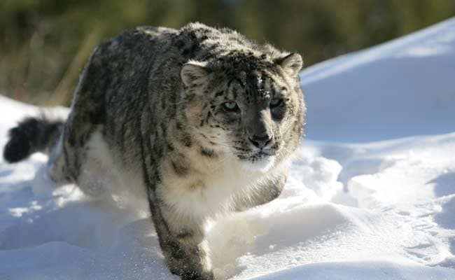 5 Arrested For Killing Rare Snow Leopard, Other Endangered Species In China