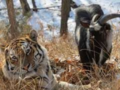 Everyone Loved This Story About A Siberian Tiger And Goat Being Friends. Too Bad It's Over.