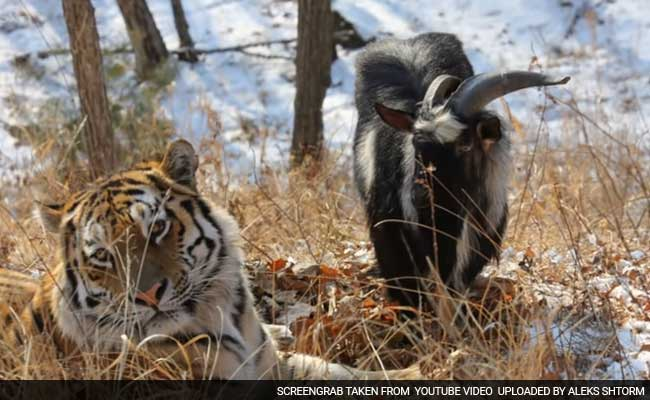 A Goat Was Supposed To Be A Siberian Tiger's Dinner: Now They Are Best Friends, And It Is Charming Russia