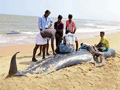 Sample of 45 Whale Carcasses Taken For Tests In Tamil Nadu