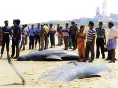45 Whales Die After Being Stranded On Beach In Tamil Nadu's Tuticorin