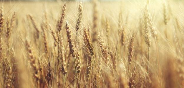 Why Wheat Production in Madhya Pradesh May Dip This Season