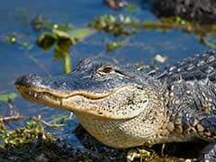 Assault With A Deadly Weapon? Man Charged With Throwing Alligator Into Restaurant