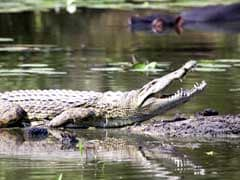 Crocodile Attacks Woman, Injures Her