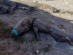 124 Crocodiles Suffocate In Mexico Truck Trip