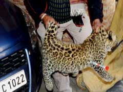 A Leopard That Strayed Into A House In Shimla Is Captured