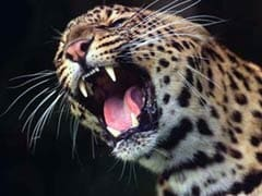 Panic In Agra Residential Colony After Leopard Attack