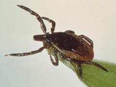 US Researchers Find New Bacteria That Causes Lyme Disease