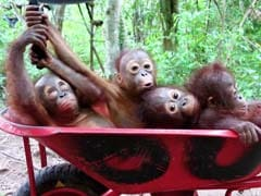 Stop What You're Doing and Watch These Baby Orangutans go to School