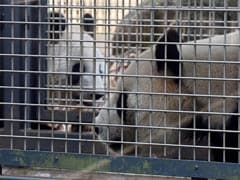 Get A Room! Tokyo Zoo's Bashful Pandas Try For A Baby