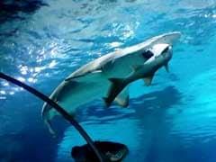 Shark Swallows Shark in Seoul Aquarium