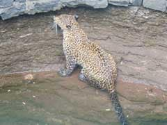 Injured Leopard Stuck In Slush For 15 Hours Drowns