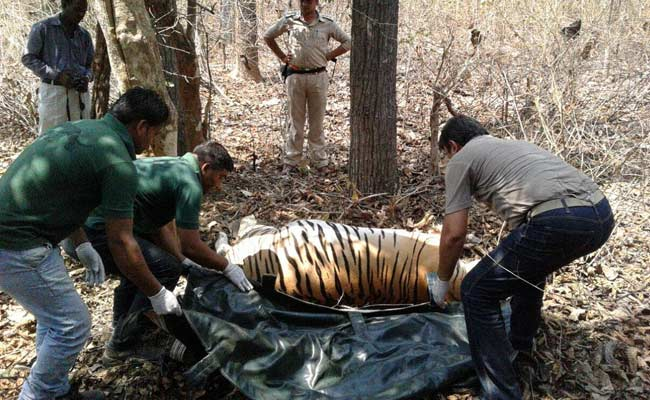13 tigers die in Madhya Pradesh due to poisoning, electrocution