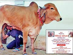 700 Guests Will Bless This Bovine Wedding In Gujarat