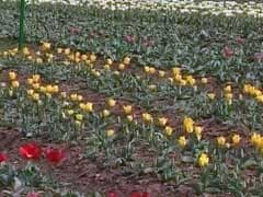 Early Bloom In Srinagar Tulip Garden, Asia's Largest