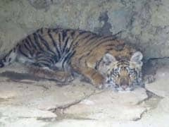 Another Tiger Found Dead In Madhya Pradesh Park, 3 Arrested