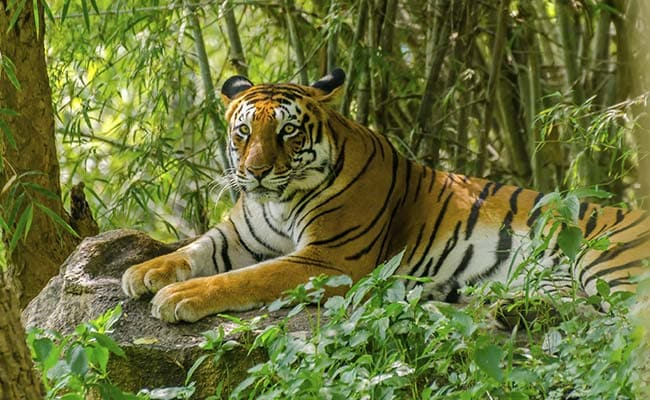More Tigers Have Been Poached In India This Year Than All Of Last Year